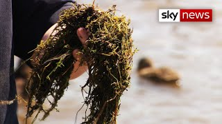'It's taken over': Killer pigmyweed from New Zealand putting UK lakes at risk