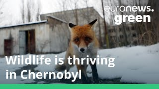 The world's most unlikely nature reserve: Wildlife is thriving in Chernobyl