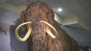 Was machten die Menschen mit Mammuts? Forscher untersuchen Skelett