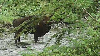 Los bisontes europeos se especializan como guardabosques