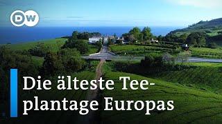 Chá Gorreana: Die älteste Teeplantage Europas | Europa maxximal