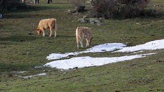 LIVE CATTLE Folgen von Filomena: Tote Rinder, Bauern vor dem Aus