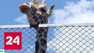 Опасный сезон в Московском зоопарке: чем грозит зверям плотное общение с посетителями - Россия 24