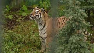 Watch: Tigers freed from truck taste outdoor lifestyle at Polish zoo