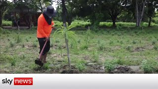 HARVEST Thai prisoners harvest a traditional herbal remedy to treat mild COVID-19 cases