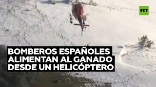 LIVE CATTLE Bomberos españoles alimentan al ganado desde un helicóptero