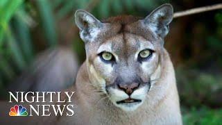 Mysterious Illness Threatening Florida's Panthers | NBC Nightly News