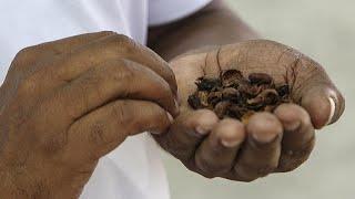 Café de Cabo Verde em risco por causa da seca