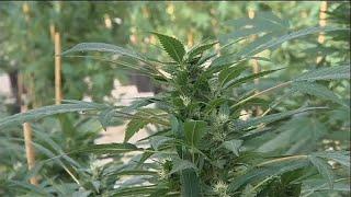 Cannabis thérapeutique : autorisation attendue aujourd'hui en France