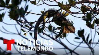 Bajas temperaturas en el sur de Estados Unidos están congelando iguanas y pueden generar peligro