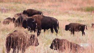 Meet The Folks Behind South Dakota's Annual Bison Roundup | NBC Nightly News