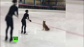 Акита-ину на льду: Алина Загитова тренируется со своей собакой