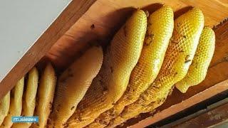 60.000 bijen uit plafond gehaald in Australië - RTL NIEUWS